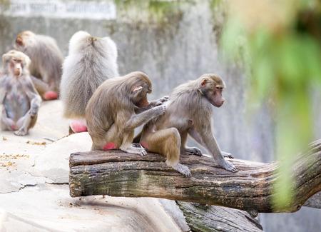 animales safari: babuinos aseo personal un amigo, familia del mono tiene un resto