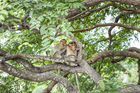flee: monkeys grooming in the trees near Manallapuram, India
