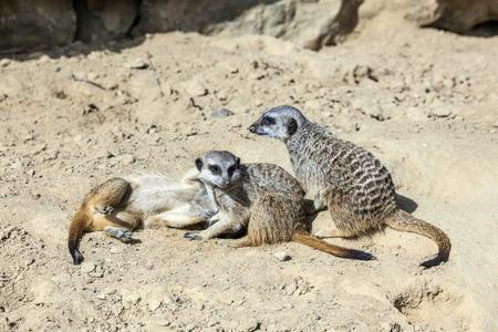 carnivora: meerkat watching the environment carefully in desert area Stock Photo