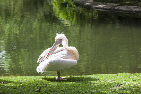 onocrotalus: White Pelican (Pelecanus onocrotalus) also known as the Eastern White Pelican, Rosy Pelican or White Pelican is a bird in the pelican family