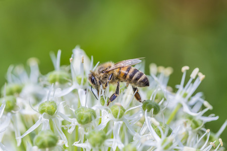 pollinators: Bees on Allium sphaerocephalon. Allium Drumstick, also known as sphaerocephalon, produces two-toned, Burgundy-Green flower heads. The flowers open green, then start to turn purple.