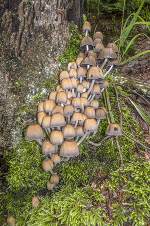 glistening: Wild mushrooms, known as glistening ink cap, growing on a mossy tree trunk in a woodland area inFrance