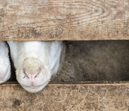nosy: nosy goats are looking out of the stable