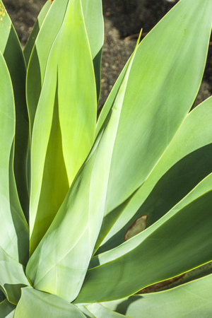 agave: Agave plant in natural sunlight