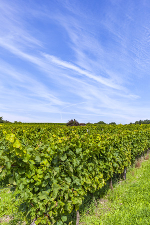 cluster of white grapes in the vineyard in indian summer Banque d'images