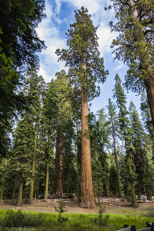 sequoia national park: tall and big sequoias in beautiful sequoia national park