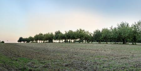 bad apple: apple trees in beautiful landscape in early morning light