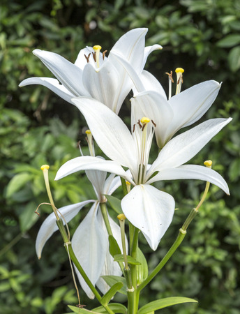 lilia: blooming bud of lilly flower grows in the garden Stock Photo