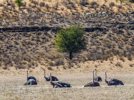 curiousness: A wild ostrich in the savannah  in South Africa