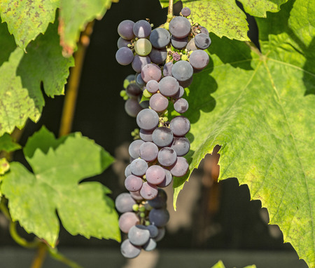 grape cluster: Blue grape cluster on vine closeup photo with green leaves Stock Photo