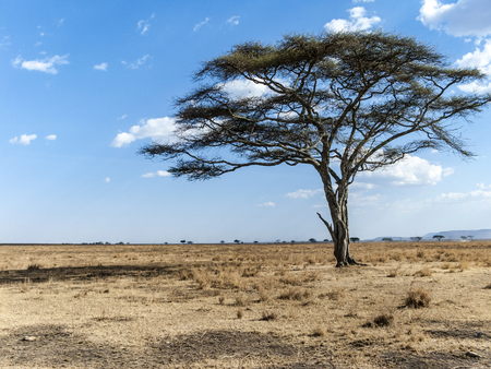 lonely dry tree in the desert of the serengeti national park