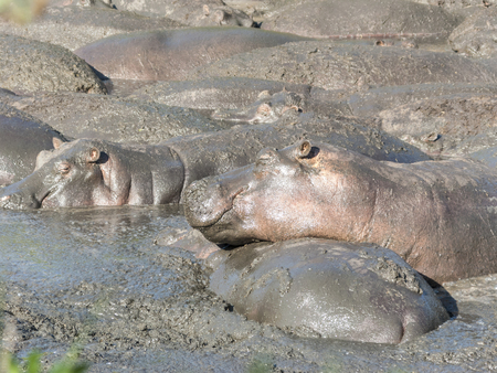 the water hole: hippos relax at a water hole in the serengeti national park