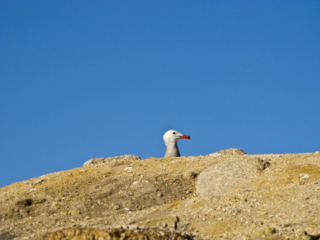 red beak: seagull with red beak under clear blue sky