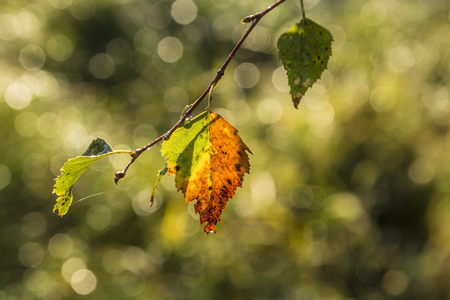 Multicolored leaves of a tree in indian summer Stock Photo