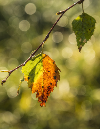 indian summer: Multicolored leaves of a tree in indian summer Stock Photo