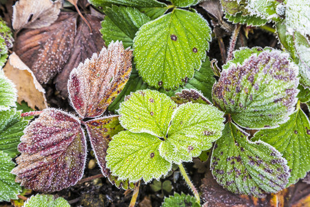 detail of strawberry  leaves with hoar frost in November Stock Photo