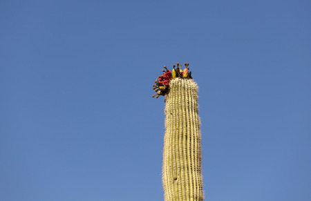 big cactus with fruits on top under blue sky Stock Photo