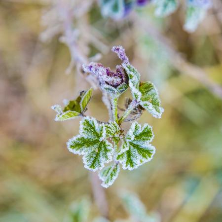 detail of lrose flower with hoar frost in November