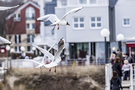 seagulls at the coast flying and shrieking with tourists in background Stock Photo
