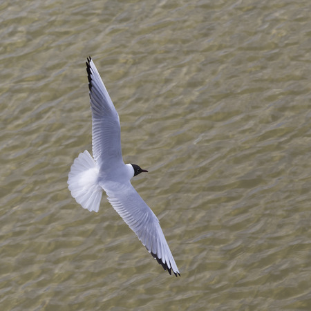 cackle: seagull at the coast flying and swimming in the baltic sea Stock Photo