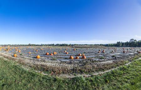 cucurbit: big pumpkins grow on a field in america Stock Photo