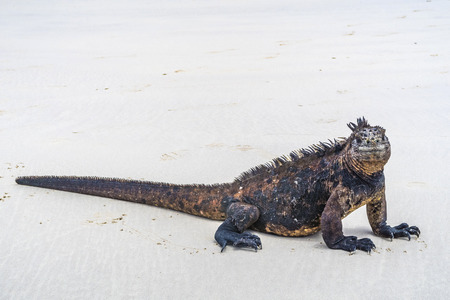 huge marine Iguana at the sandy beach Stock Photo