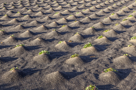 pattern of field with vegetables growing on volcanic earth Stock fotó