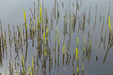 backwater: reed grass in the backwater of the lake in Usedom