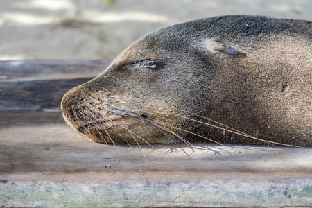 seal relaxes at the beach at the galapagos islands