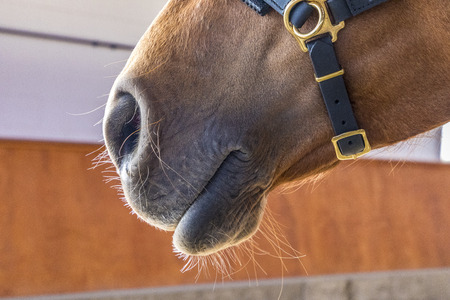 brown horse is trained in the riding hall