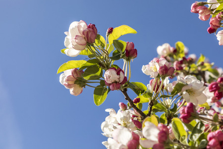 bred: bred and white blooming bud of cherry tree