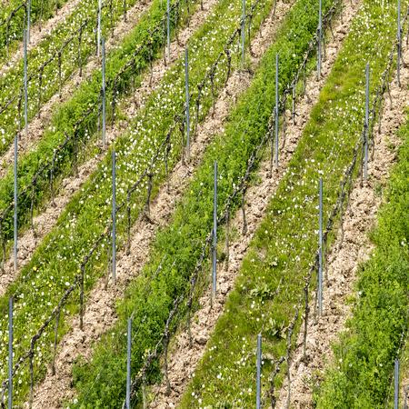 aerial of vineyard in spring with growing vine prages in Ruedesheim Stock Photo