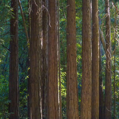 sequoia: pattern of sequoia trees in Pfeiffer Big Sur State Park