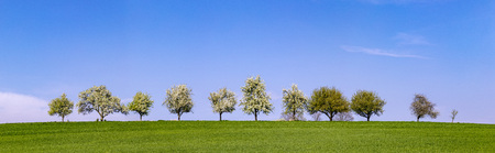 white blooming cherry trees in a row at the horizon Stock Photo