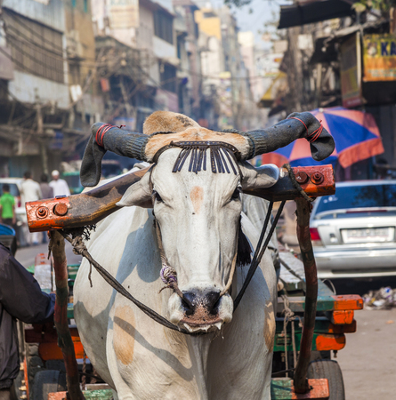 Ox cart transportation on early morning in Delhi, India. The ox chart is a  common cargo  transportation in the narrow streets of old Delhi.