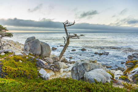 romantic sunrise near Point Lobos with old dried trees at the stone beach and a cypress Фото со стока