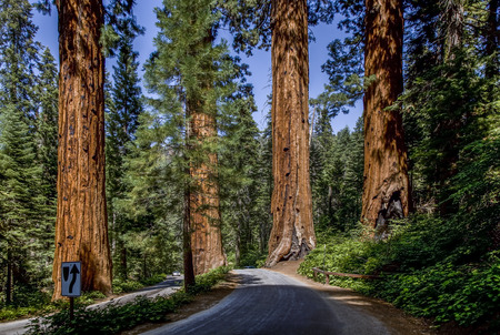 The famous big sequoia trees are standing in Sequoia National Park