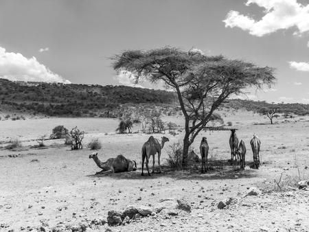 camels have a rest under a tree in the Ngorongoro national park in the desert