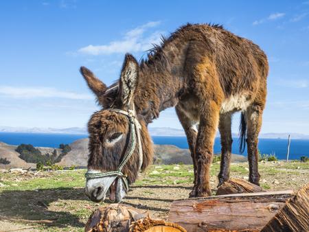 Donkey on Isla del Sol, Titicaca lake, Bolivia