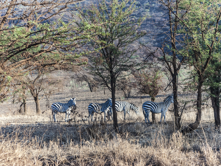 zebras in the serengeti national park with tree Stock Photo