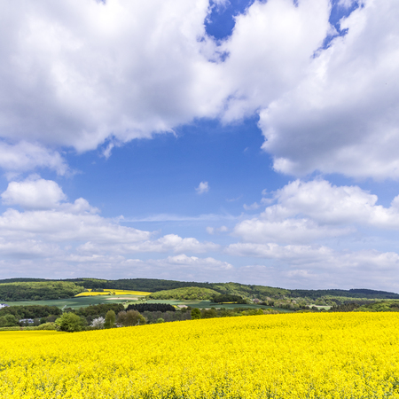 Spring countryside of yellow rapeseed fields in bloom near Usingen
