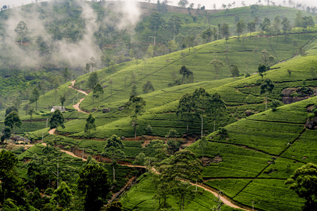 green tea plantation, Sri Lanka in the highland near Nuwara Eliya Stok Fotoğraf