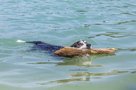 dog fetches piece of wood in the lake