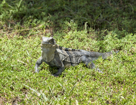 wild big lizard in Key Biscane