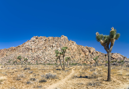 rock and Joshua tree in Joshua tree national park under blue sky Stock Photo