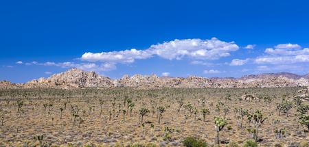 joshua trees with rocks in Joshua tree national park Stock Photo