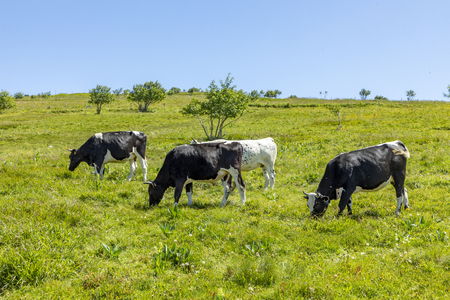 black and brown cows grazing at the highland meadow at the top of the alsacien mountains