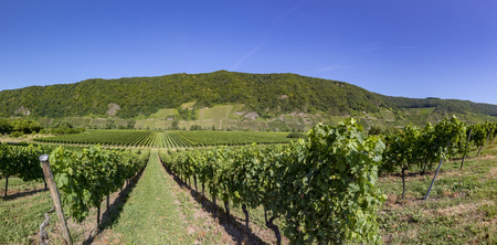 growing vine in the vinyard in the moselle valley