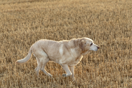 labrador dog enjoys running in the harvested field of corn