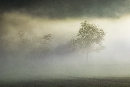 apple tree in fog in the Taunus area in Hesse, Germany